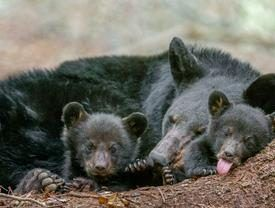 family of bears nestled together in jackson county